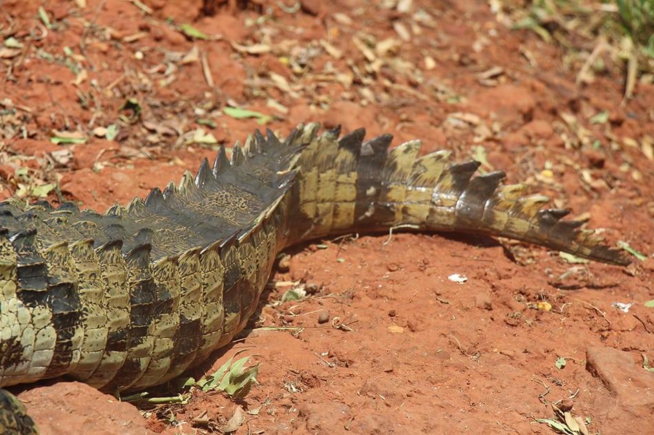 Dreams About a Crocodile or Alligators Tail