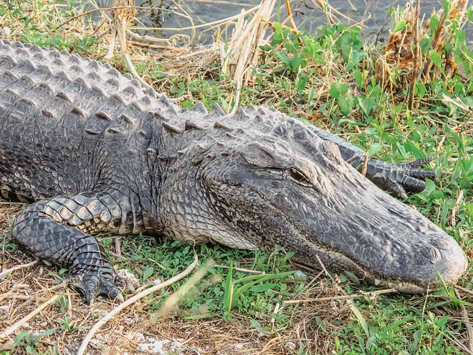 Dreams About Crocodiles or Alligators on the Ground