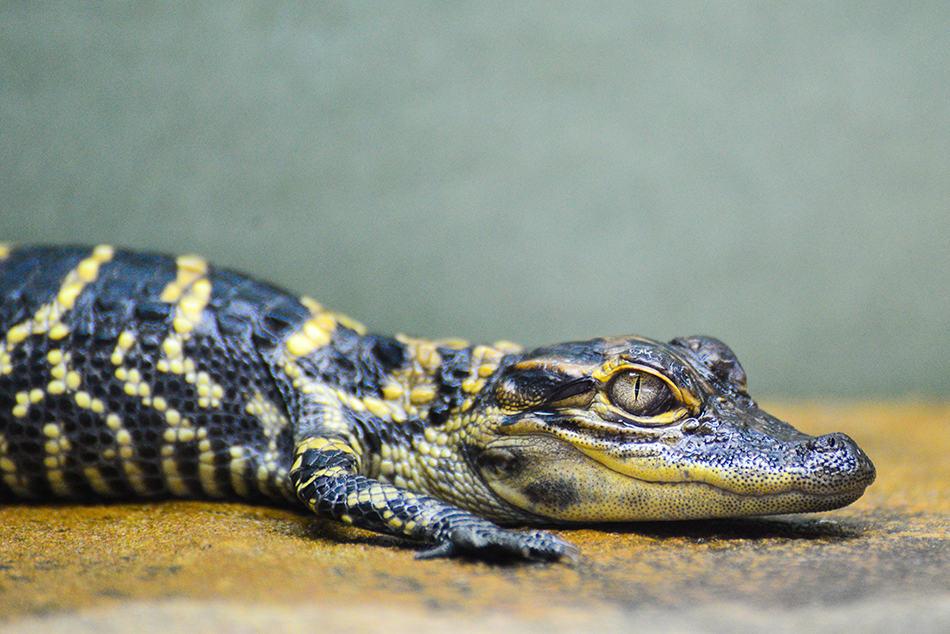 Dreams About Dead Crocodiles or Alligators