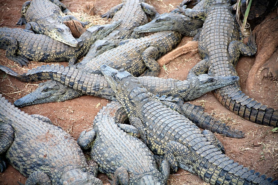 Dreams About Large Numbers of Crocodiles or Alligators