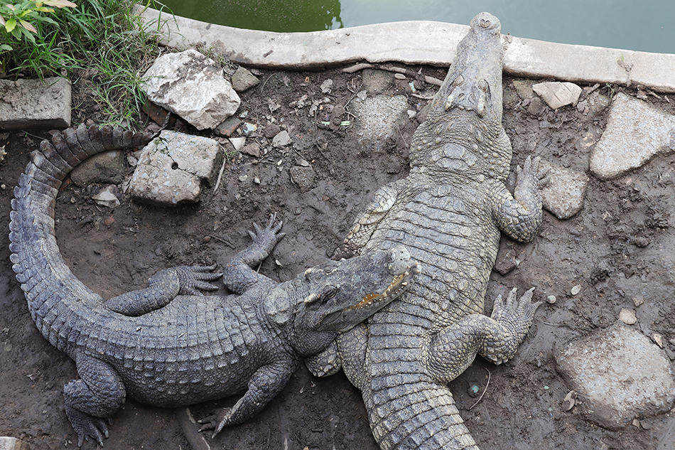 Dreams About Two Crocodiles or Alligators