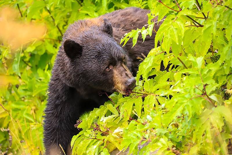 Dreams about bears foraging