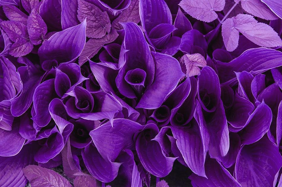 Purple or Violet