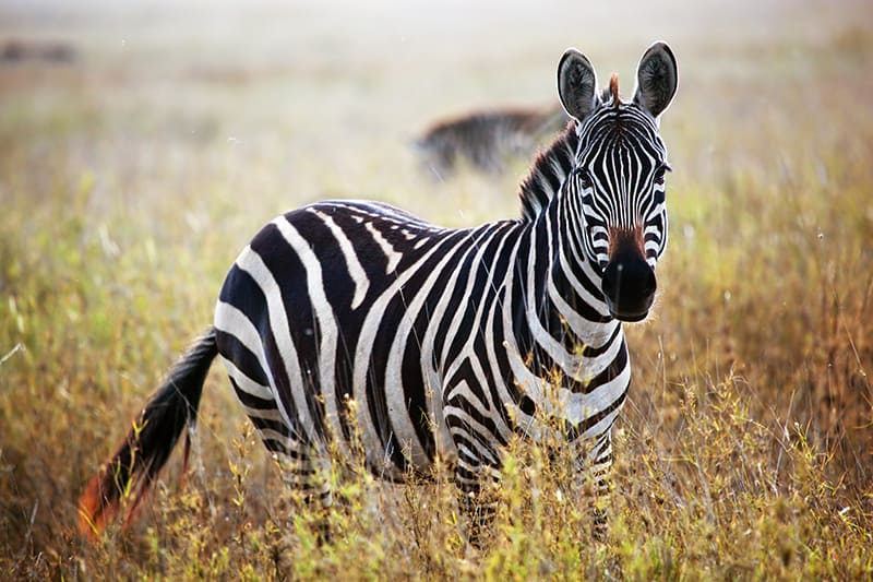 Dream About Zebras