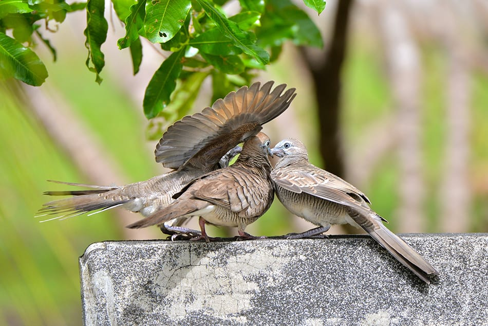aggressive doves or pigeons