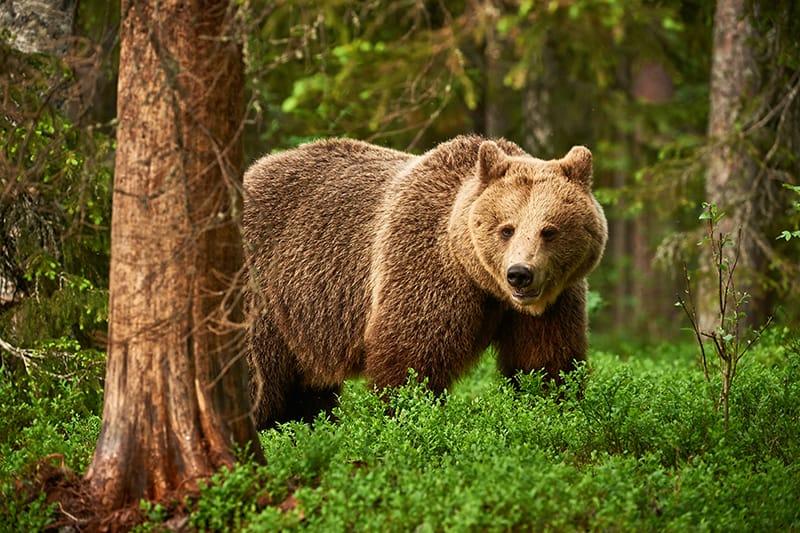 Bear Dream Meanings & Interpretations