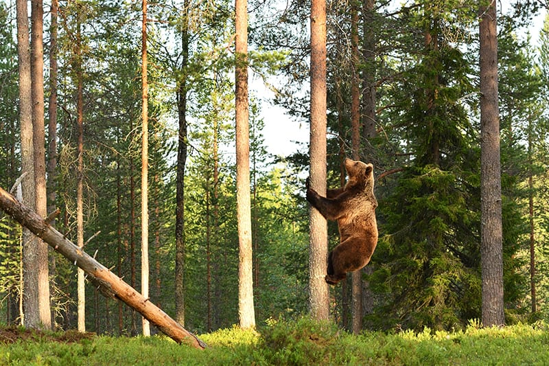 Dreams about bears climbing
