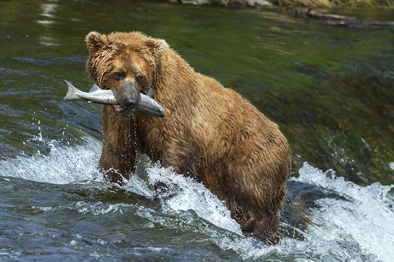Dreams about bears fishing