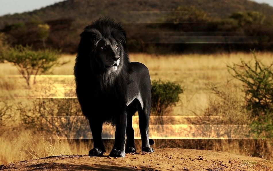 Dreams About a Black Lion