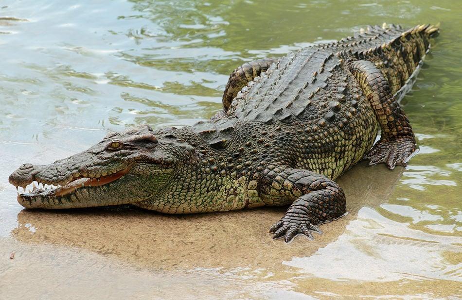 crocodiles or alligators dream interpretations