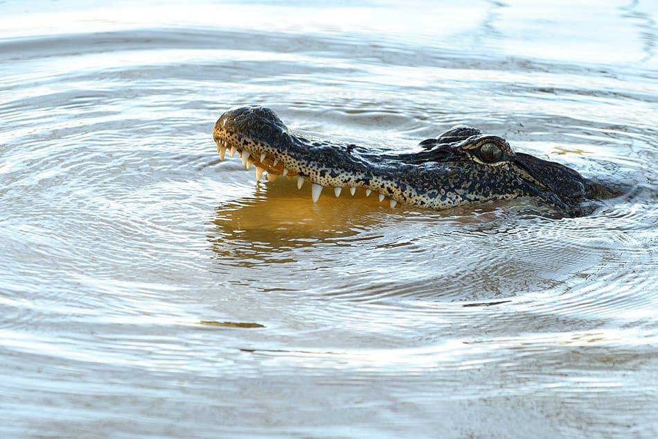 Dreams About Crocodiles or Alligators in Water