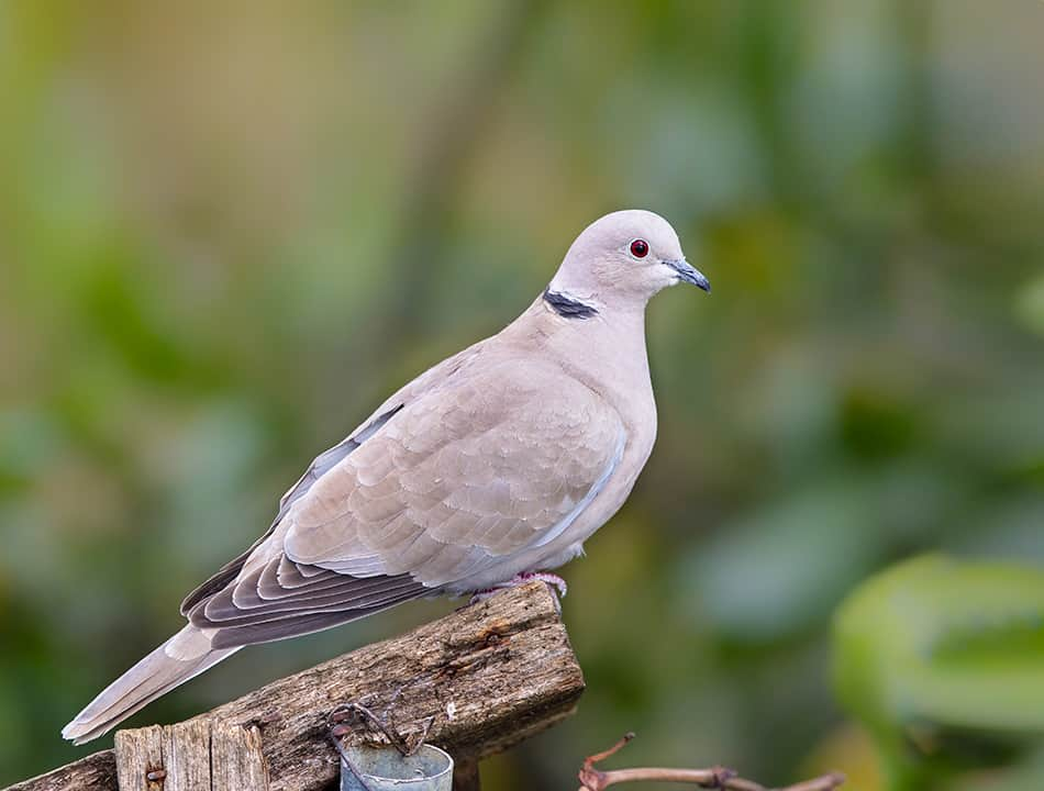 dove or pigeon yourself