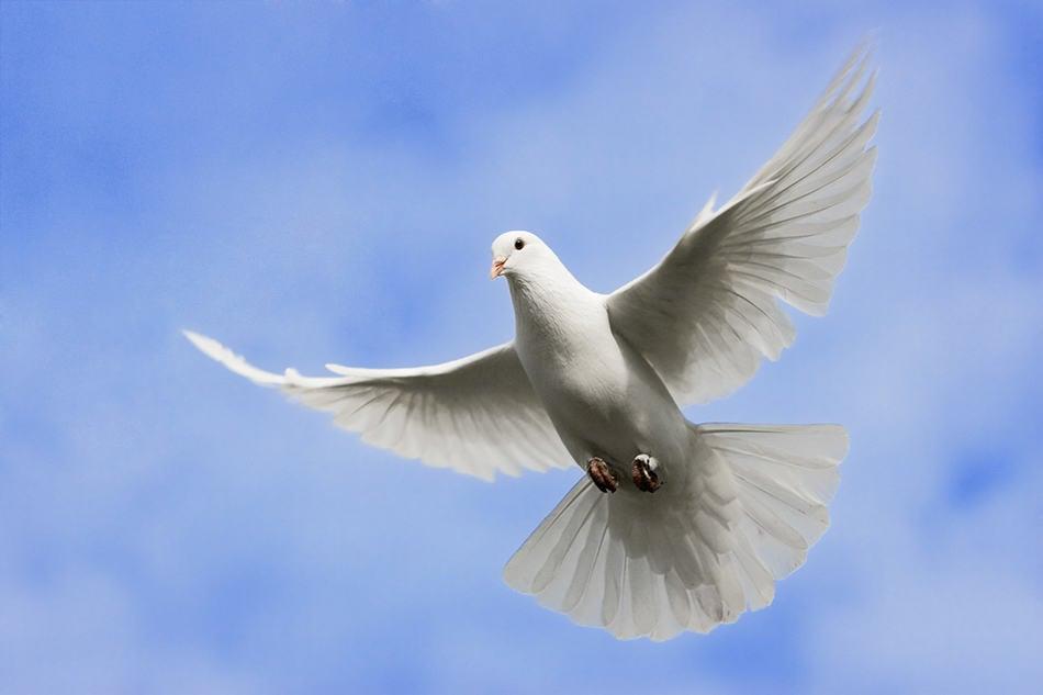doves or pigeons flying