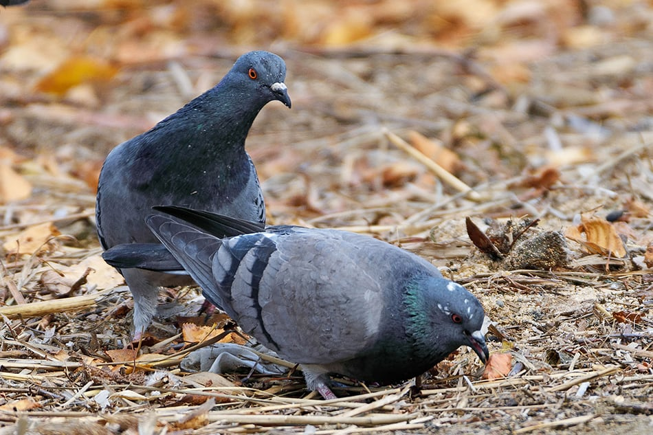 doves or pigeons searching for food