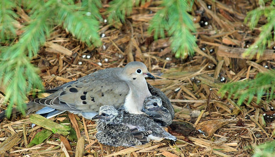 doves or pigeons with their young