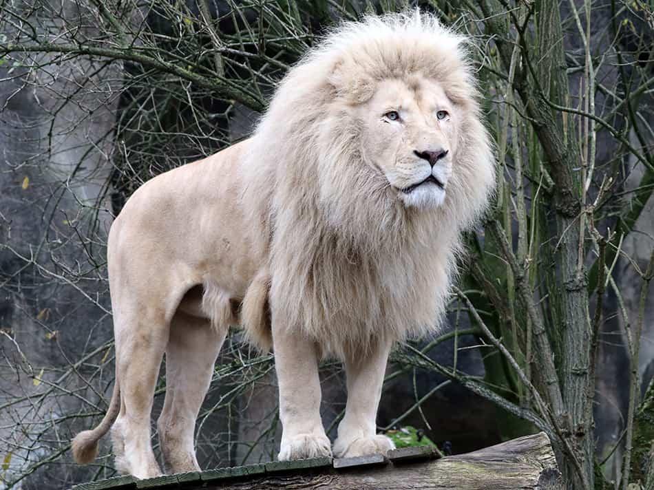 Dreams About a White Lion