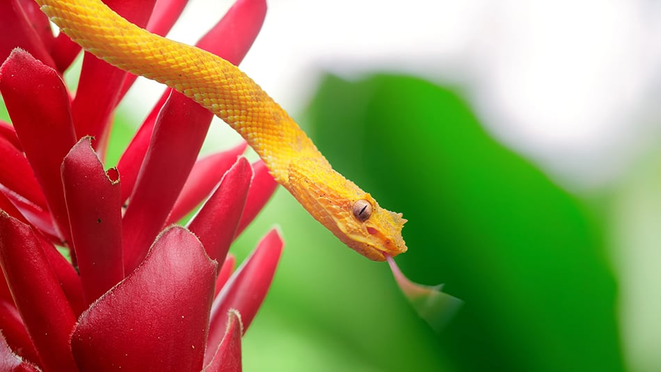 Dreams About Yellow Snakes