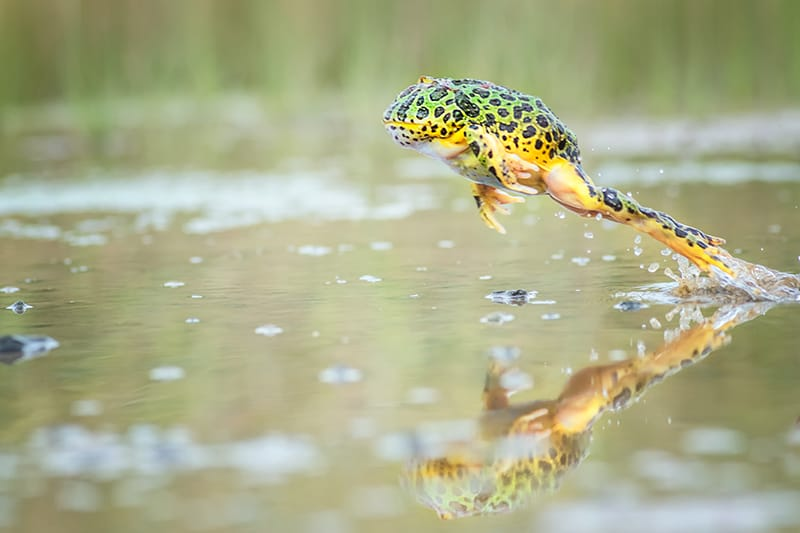 Jumping frogs in Dreams