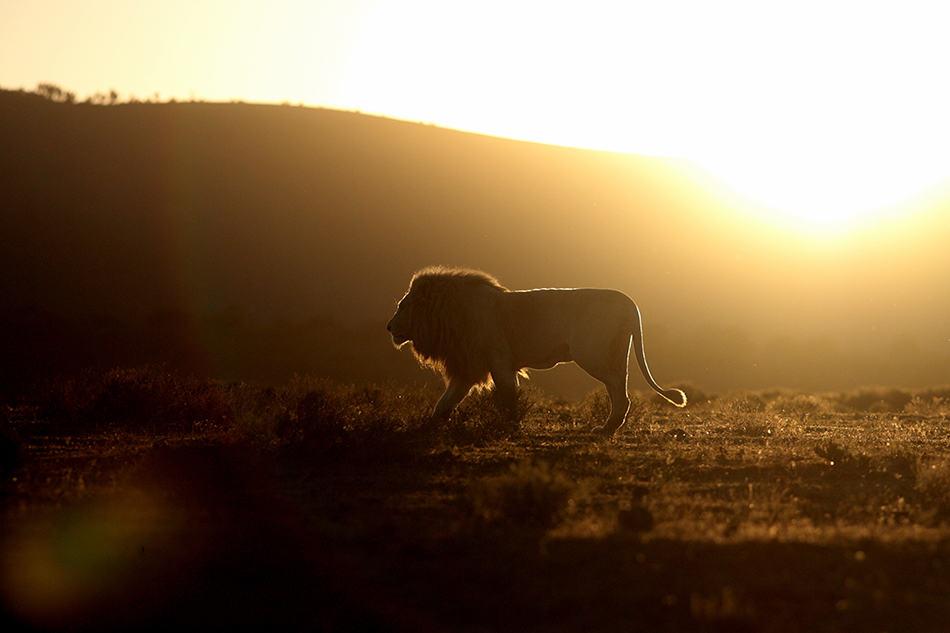 Lion Dreams, Interpretations, Symbolism