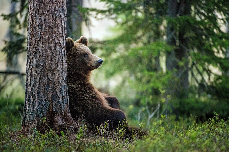 Dreams about seeing a bear