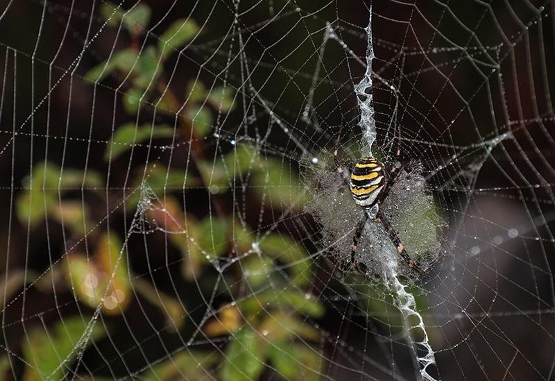 Spider Dream Meaning and Interpretation
