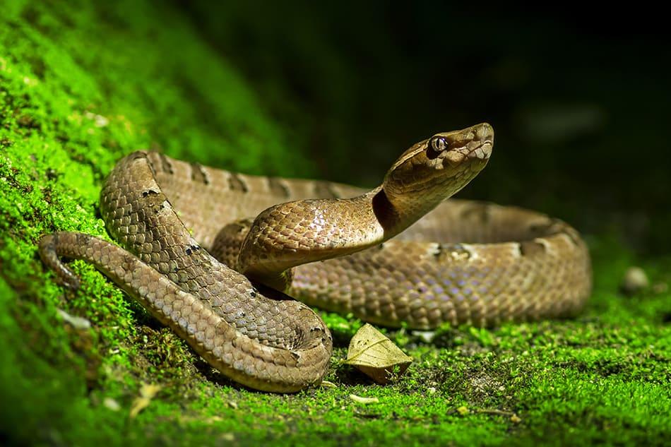 Dreams About Venomous Snakes