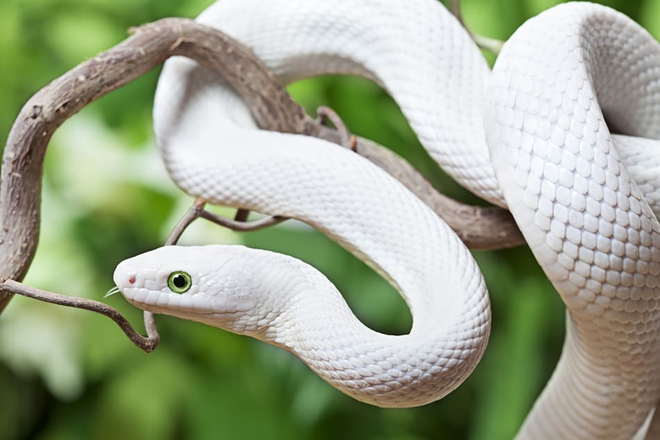 Dreams About White Snakes