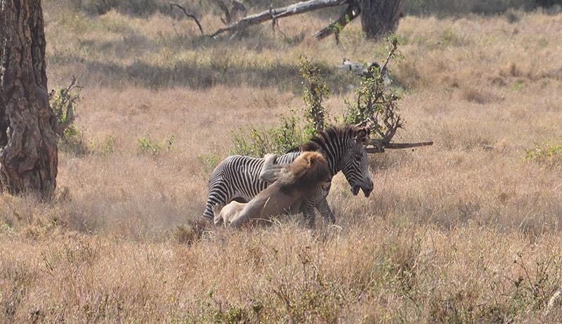 zebra being attacked