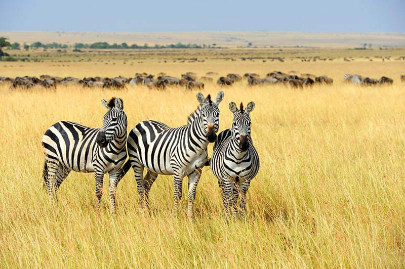 zebra with other zebras