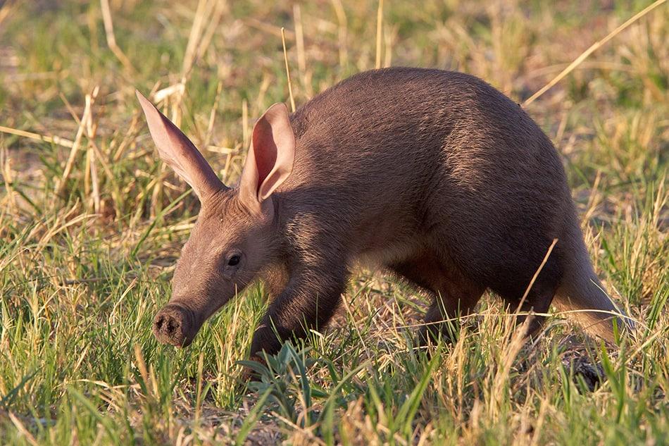 Aardvark Dream