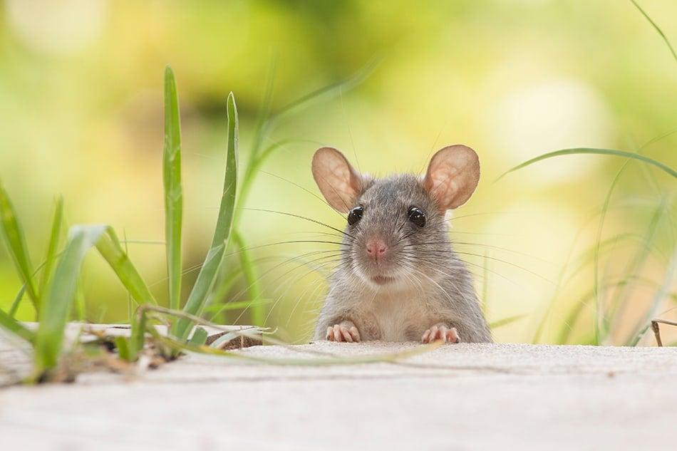 Rat Dream