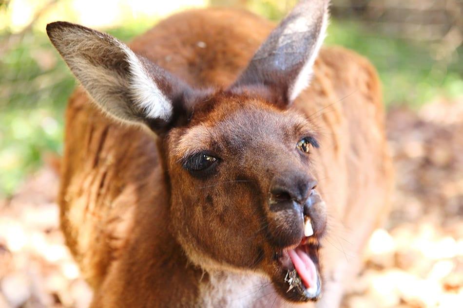 a Kangaroo Attack