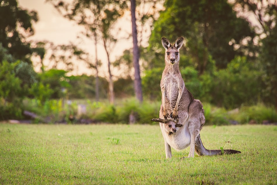 a Mother Kangaroo and Her Baby