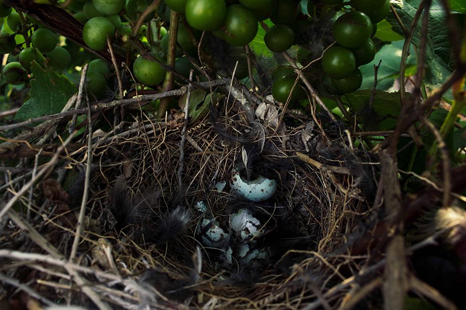 a mockingbird hatching