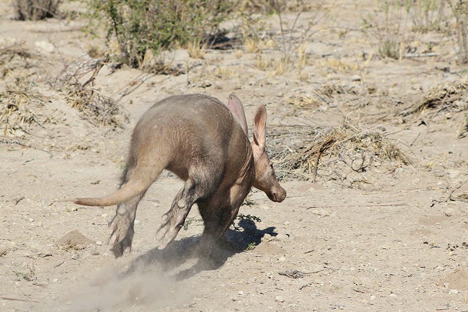 aardvark in danger
