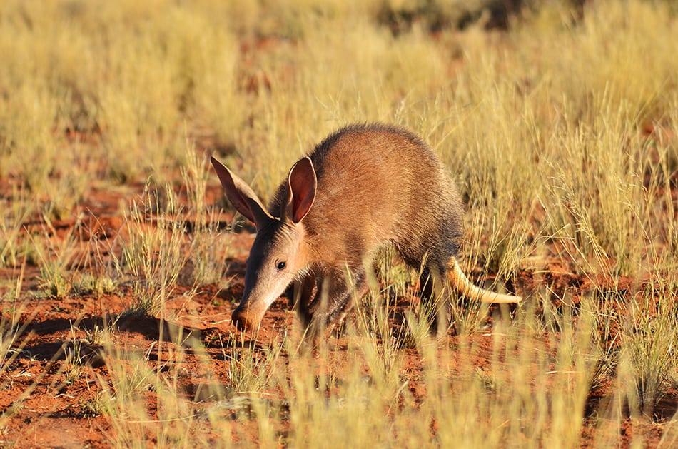 an aardvark as you