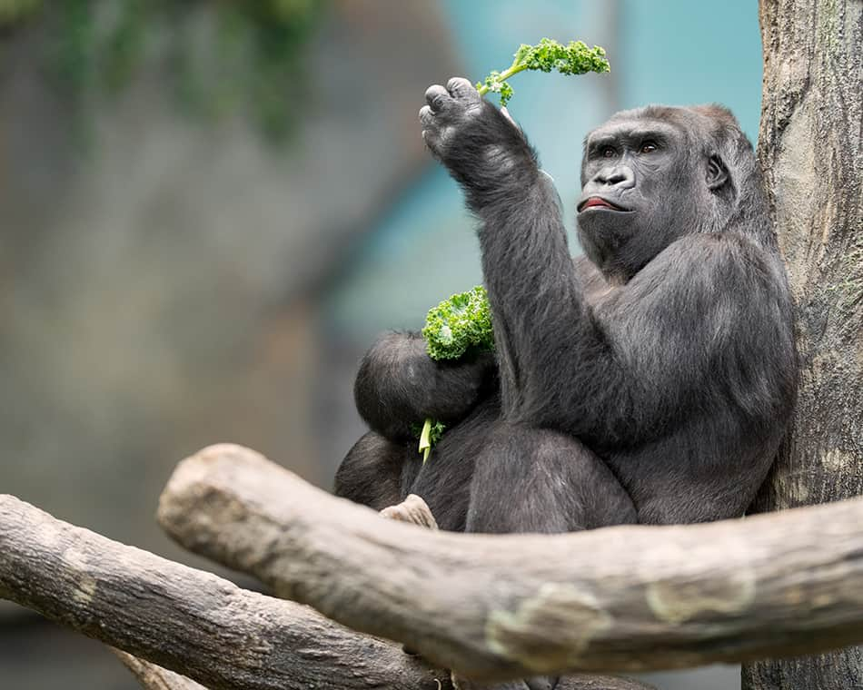apes eating