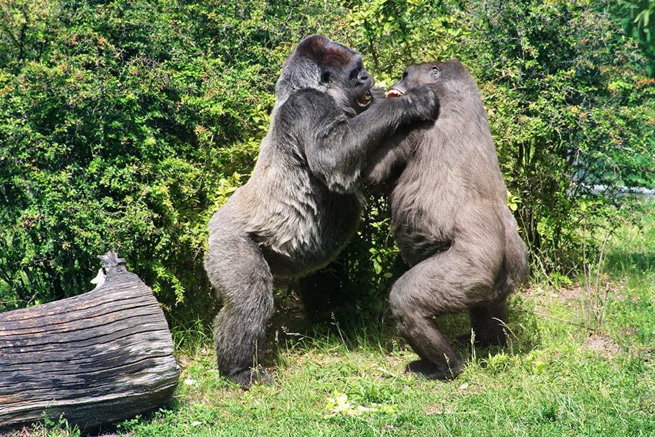 apes fighting