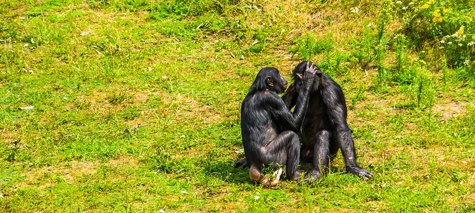 apes grooming one another