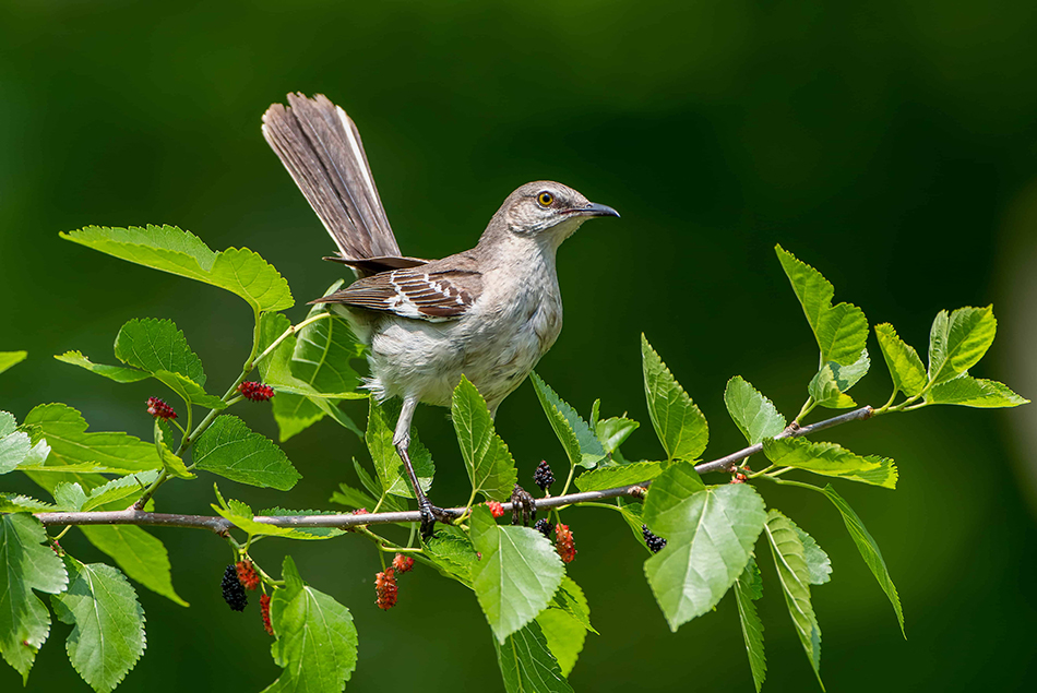 being a mockingbird