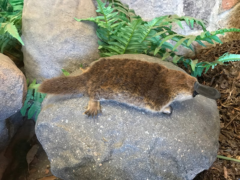 Dreams about being a platypus