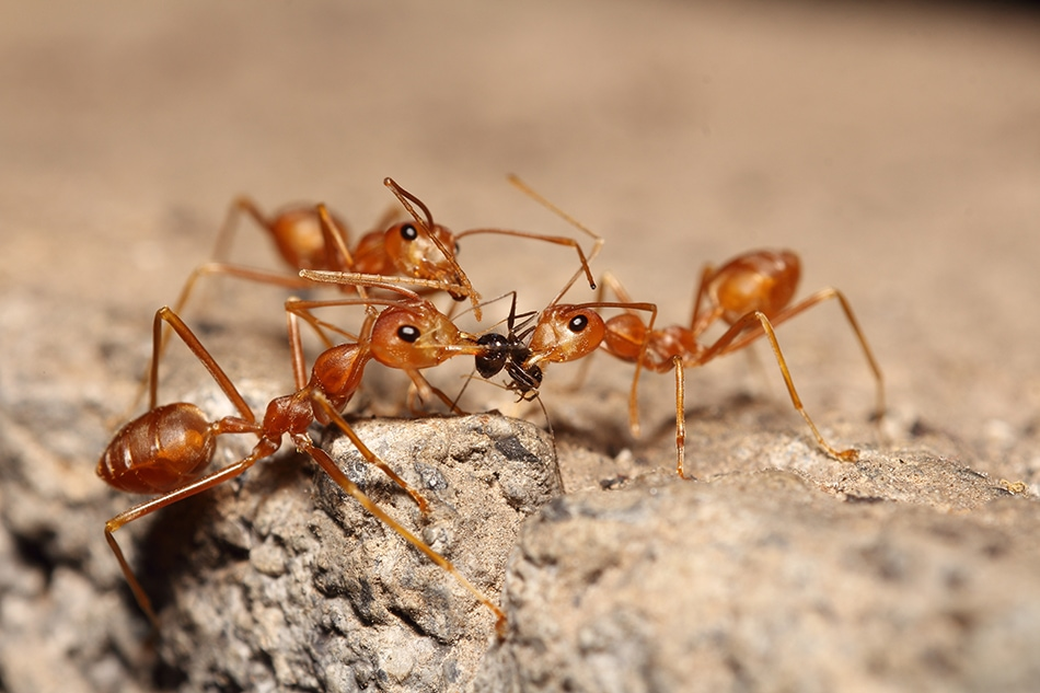 about fire ants