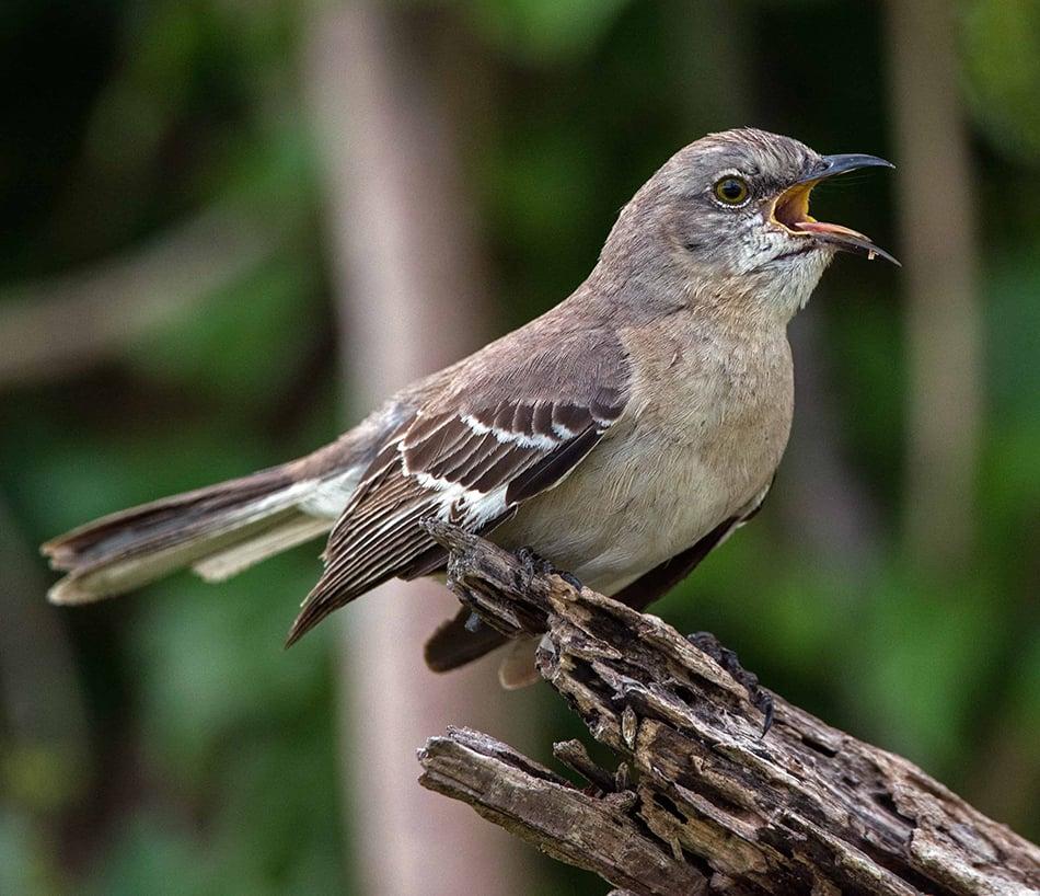a mockingbird singing