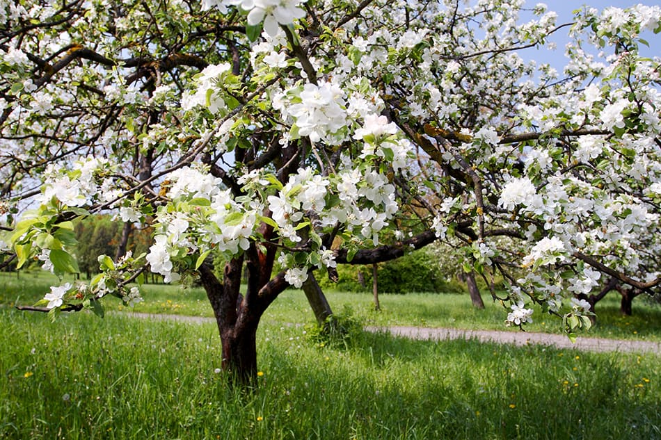 A Tree in Blossom or With Fruit