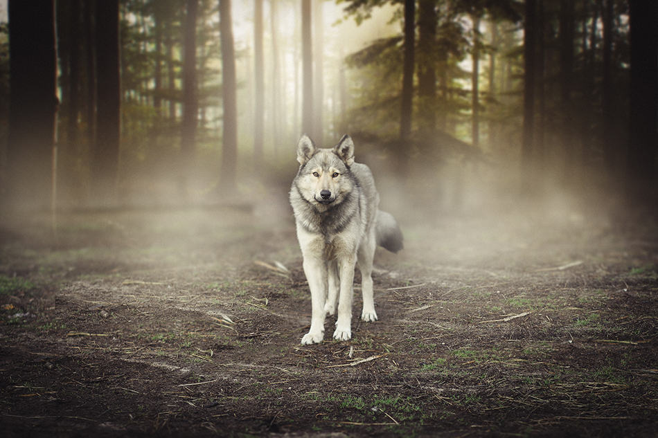 Dream of a Wolf