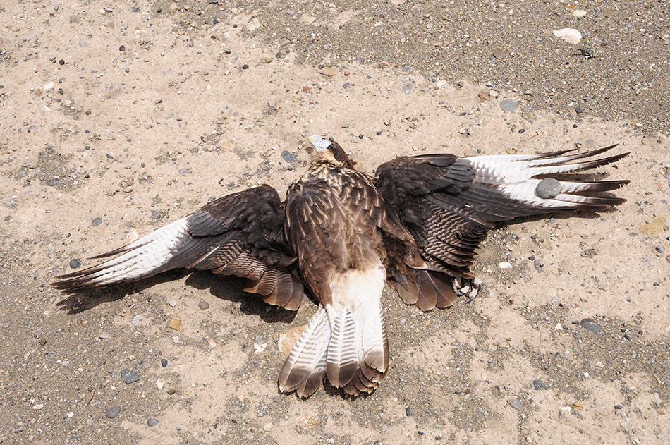 Killing an Eagle