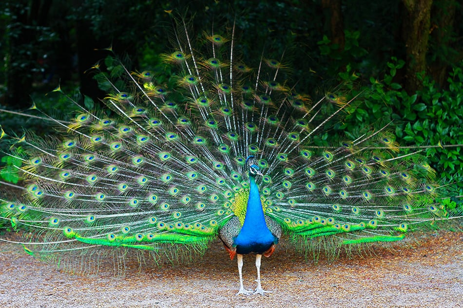 a Peacock Spreading His Feathers