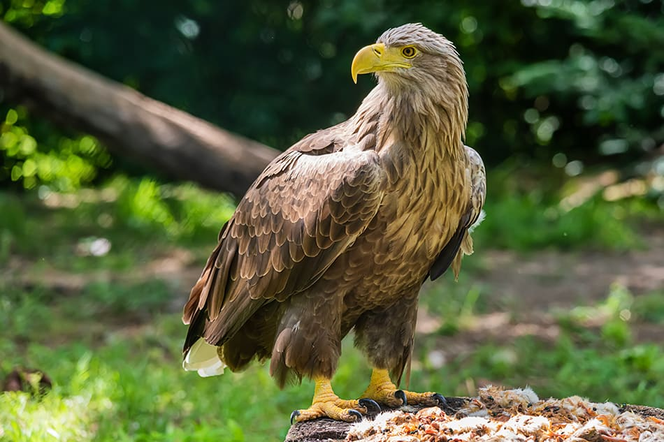 an Eagle Standing