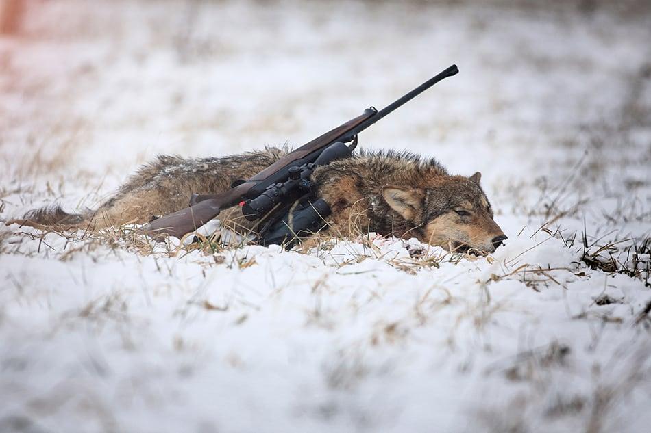 killing a wolf