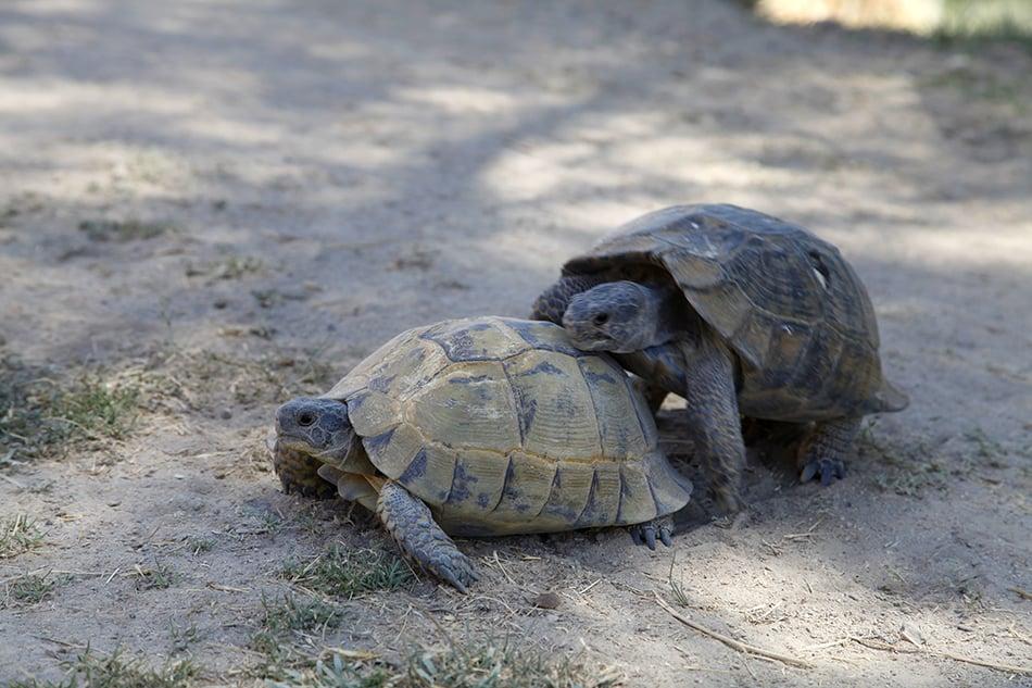 turtles mating